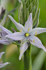 CAMASSIA 'Lavender Mist'