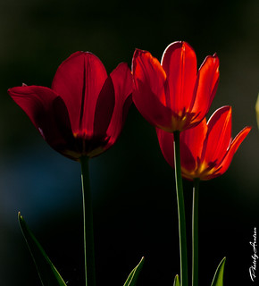 Tulips in the magic light...