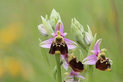 Orchids and Helleborines of England