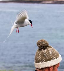 Arctic Tern hat strike