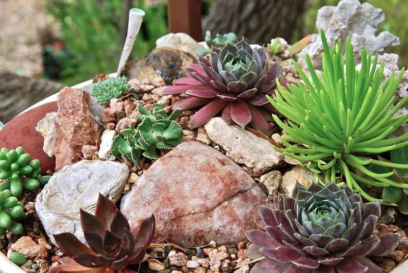 Troth Garden; Alionopsis malherbei, semps, senecio himalaya, cremnosedum