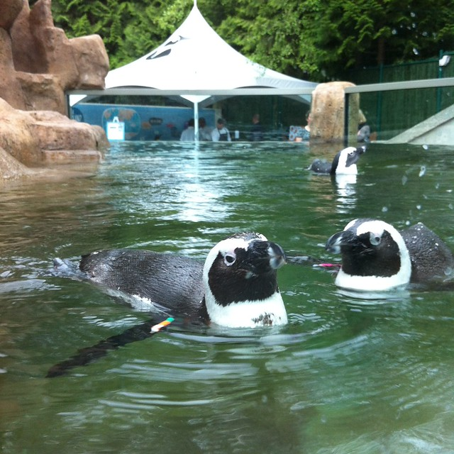 Earlier tonight, the penguins at @VancouverAqua were up for a swim #NATA #fb