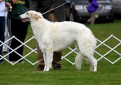 hound(0.0), whippet(0.0), lurcher(0.0), dog sports(1.0), animal sports(1.0), dog breed(1.0), animal(1.0), silken windhound(1.0), dog(1.0), polish greyhound(1.0), galgo espaã±ol(1.0), sighthound(1.0), saluki(1.0), pet(1.0), mammal(1.0), longhaired whippet(1.0), irish wolfhound(1.0), borzoi(1.0),