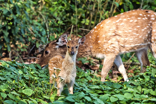 Spotted Deer (Axis axis) fawn