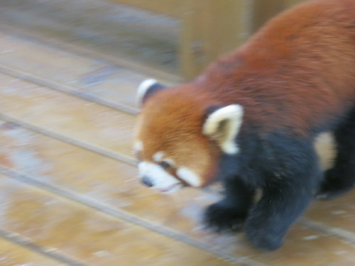 Red Panda on the attack (no seriously)