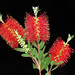 Red Bottlebrush Flower