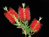 Red Bottlebrush Flower by Habub3