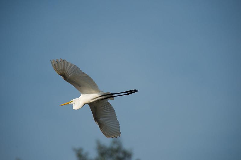 Great Egret, Brunei