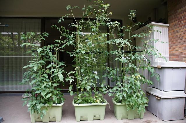 サントリー本気野菜トマトの成長2