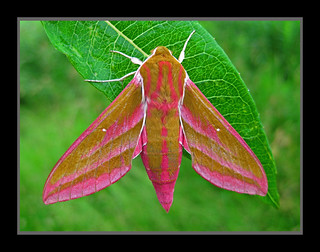 EIelephant hawkmoth