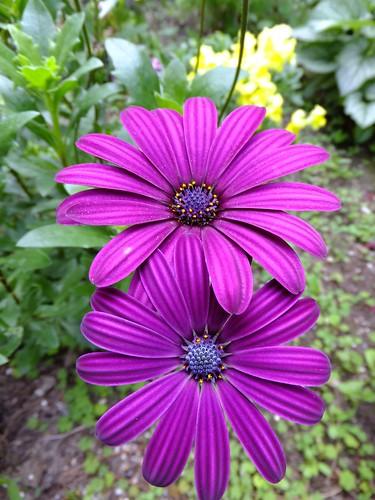 Purple Amaze