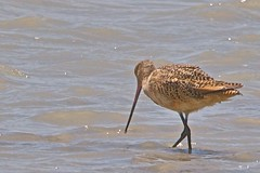 red backed sandpiper(0.0), calidrid(0.0), animal(1.0), charadriiformes(1.0), fauna(1.0), sandpiper(1.0), snipe(1.0), bird(1.0), seabird(1.0), wildlife(1.0),