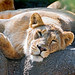 Lioness more than relaxed