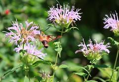 pollinator, moths and butterflies, flower, plant, bee balm, invertebrate, macro photography, herb, flora, fauna, meadow, bee,