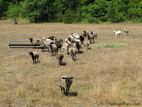 (19-8) We had to put the wayward sheep back out in the front field but there isn't much to eat in it - FarmgirlFare.com