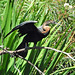 Small photo of African Darter (Anhinga rufa)
