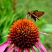 Moth_Coneflower