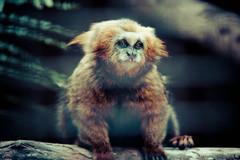 macaque(0.0), animal(1.0), monkey(1.0), mammal(1.0), fauna(1.0), marmoset(1.0), close-up(1.0), new world monkey(1.0), whiskers(1.0), wildlife(1.0),