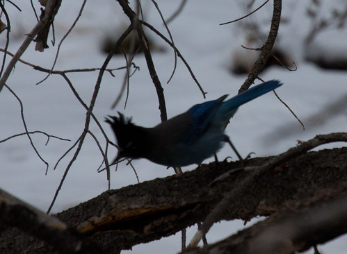Pitiful photo of Steller's Jay, Grand Canyon