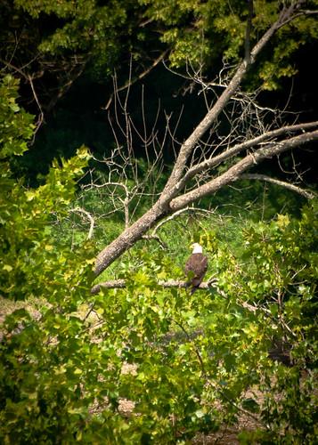 Bald Eagle at Highbanks
