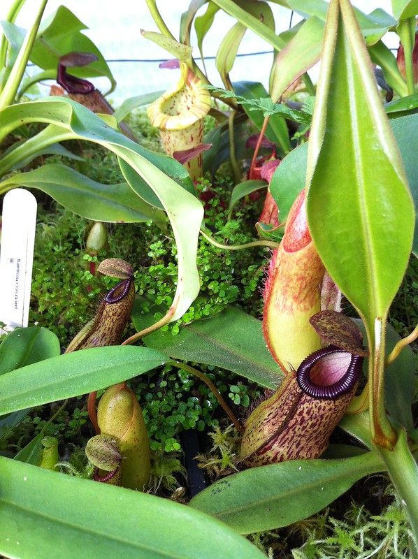 Ma collection de nepenthes  - Page 3 7768658220_25d3e5bf05_c