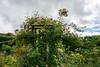 Rosemoor Roses and Clematis