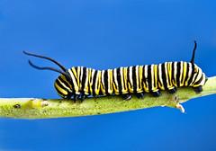 [フリー画像素材] 動物 2, 昆虫, 蝶・チョウ, オオカバマダラ, 幼虫 ID:201204270400