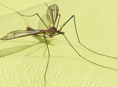 dragonfly(0.0), arthropod(1.0), animal(1.0), mosquito(1.0), wing(1.0), invertebrate(1.0), macro photography(1.0), fauna(1.0), close-up(1.0), pest(1.0),