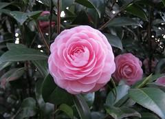 shrub, floribunda, flower, plant, camellia japonica, theaceae, pink,