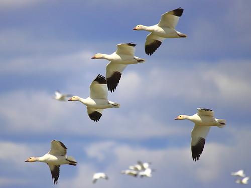 IMG_0284 Snow Geese, Tule Lake National Wildlife Refuge by ThorsHammer94539