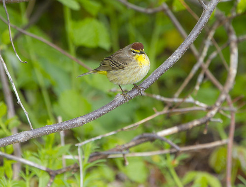 Palm Warbler by Ricky L. Jones Photography