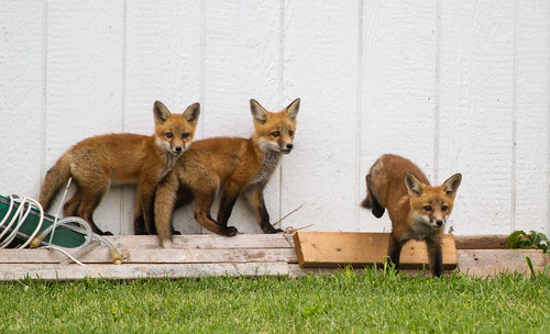 baby-foxes-may12-6