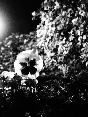 1000/790: 19 April 2012: Pansy by street light by nmonckton