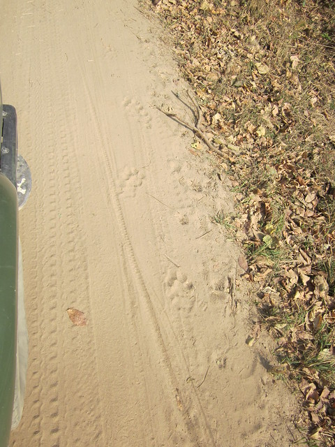 tiger and cub pawprints in Corbett National Park