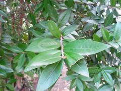 shrub(0.0), flower(0.0), plant(0.0), produce(0.0), food(0.0), evergreen(1.0), leaf(1.0), tree(1.0), bay laurel(1.0),