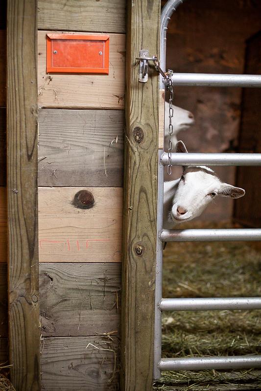 Goat-0554