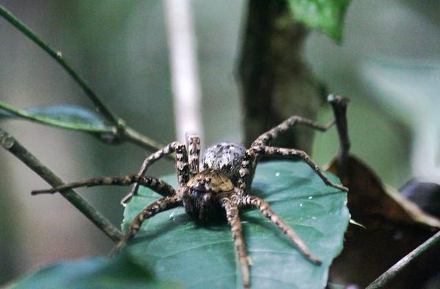 Amazon Rainforest Spider - anyone know species?   Flickr ... - photo#9