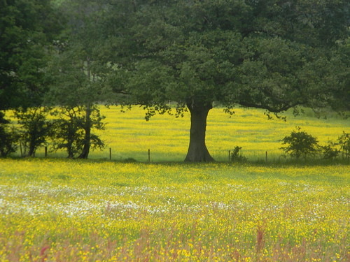 Flower meadow near Little Norlington