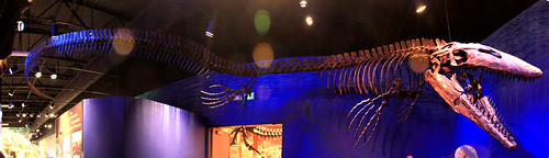 Tylosaurus proriger at the Museum of Ancient Life