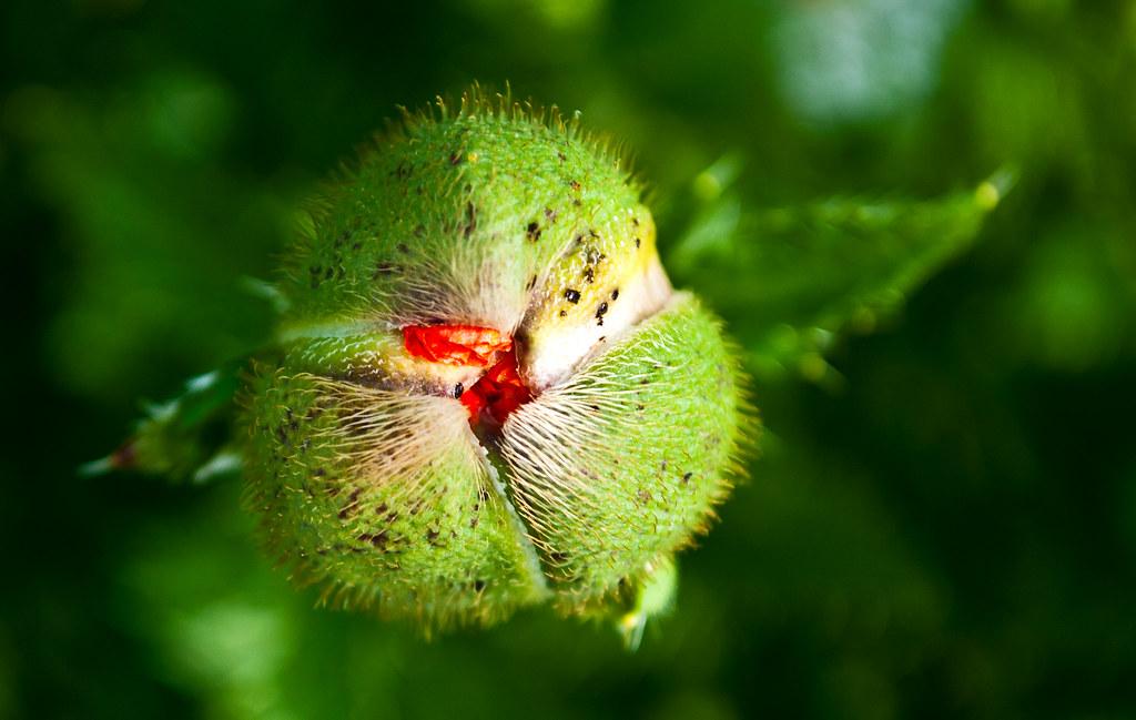 365-313 Poppy Furled