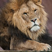Lion by wwarby