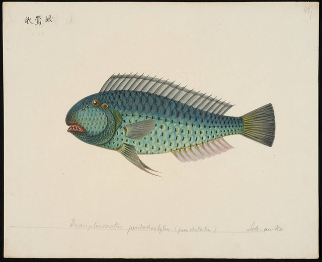 Hemipteronotus pentadactylus (punctulatus) [= Novacula pentadactylus Valenciennes in C&V, 1840]