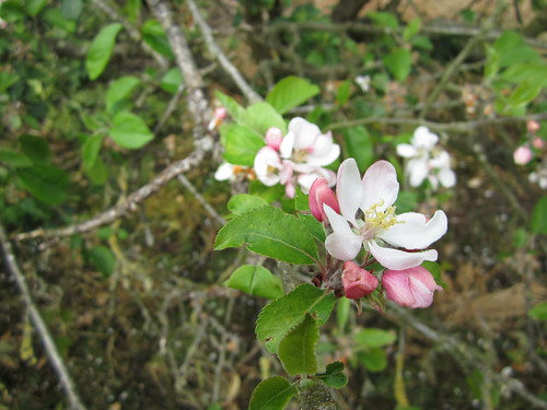Apple Blossoms #7