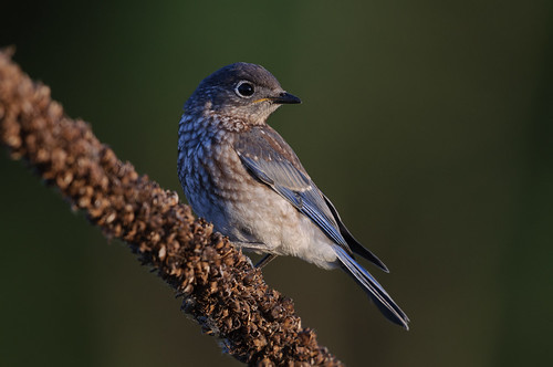 Bluebird Kid_8500.jpg