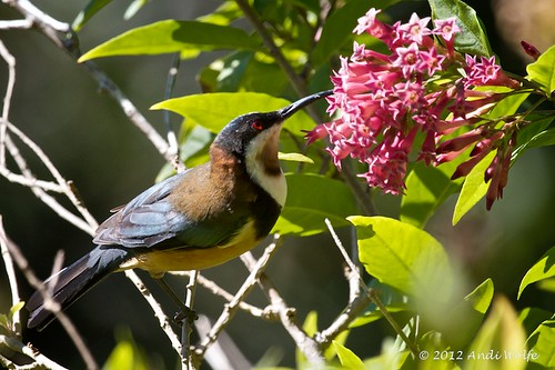 Eastern Spinebill by andiwolfe