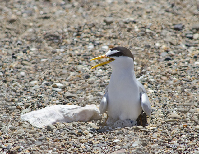 Least tern trying to incubate
