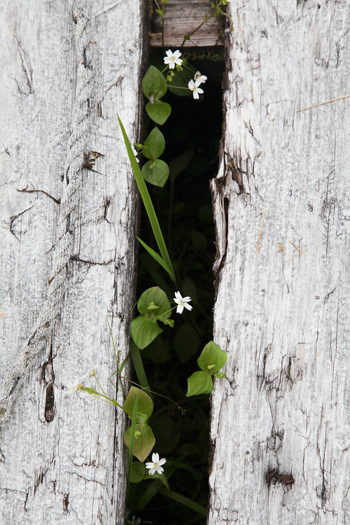 flowers in a crack between boards, Thorne Bay, Alska