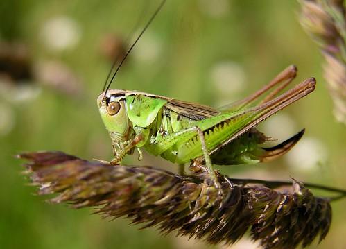 Bicolorana roeselii - Decticelle bariolée (♀) - Roesel's bush-cricket - 18/06/12