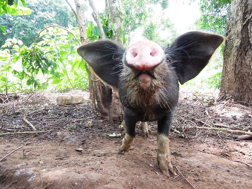 Curious pig in Uganda raised for sale