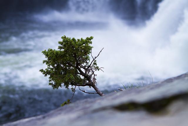 Rjukandefossen Little Tree